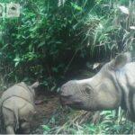 Dirjen KSDAE KLHK Wiratno: Dua Anak Badak Jawa Lahir di TN Ujung Kulon, Bukti Pandemi Covid-19 Tak Pengaruhi Habibat